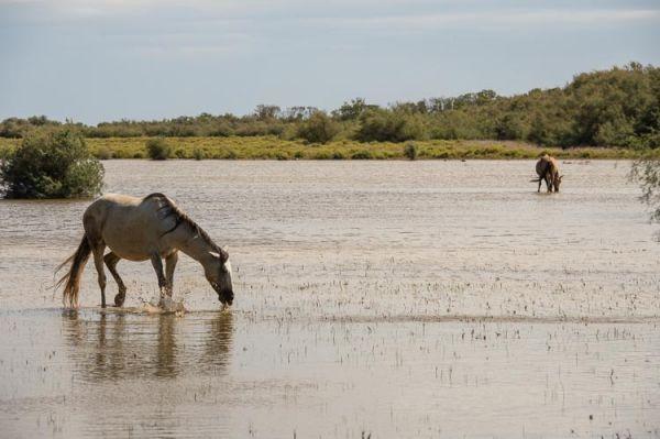 Wilde Pferde Camargue